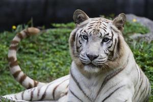 tigre branco sentado no deserto foto