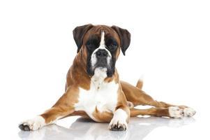cão boxer alemão foto