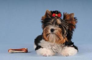 filhote de cachorro pequeno bonito com osso grande foto