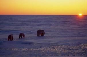 urso polar com seus filhotes
