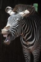 o grito de uma zebra foto