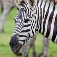 tiro na cabeça da zebra de um burchell foto