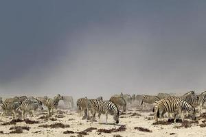 rebanho de zebra em uma tempestade de poeira no nebrowni waterhole, etosha foto