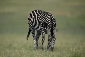 zebra, foto