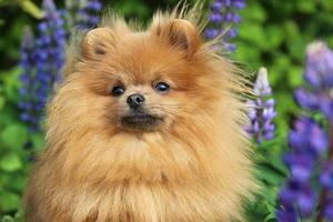 cão pomeranian em flor de verão foto