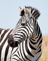retrato de zebra