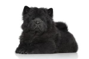 filhote de cachorro de cabelos compridos chow-chow preto