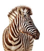 retrato de zebra isolado foto