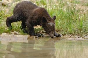 filhote de urso marrom foto