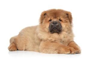 cachorro chow-chow deitado no fundo branco