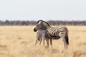 potro de zebra com a mãe no mato africano foto