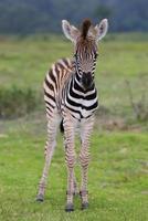 zebra bebê foto