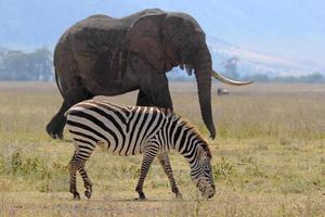 zebra e elefante africano