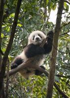 filhote de urso panda gigante nas árvores foto
