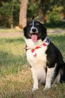 cão border collie com bandana de bandeira dos eua foto