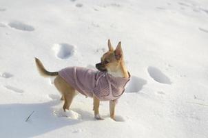 chihuahua na neve