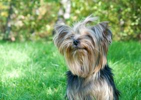 yorkshire terrier no parque da cidade
