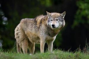 Lobo de madeira foto