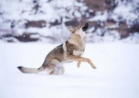 belo lobo cinzento selvagem no inverno foto