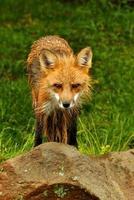 pequena raposa vermelha fica olhando para a câmera. foto