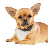 cachorro chihuahua em anti colar de pulgas, isolado no fundo branco.