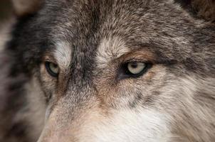 olhos de lobo da madeira (canis lupus) foto