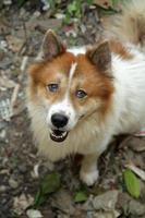 cão bang-kaew tailandês, close-up foto