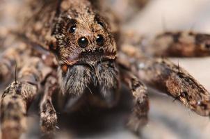 retrato de aranha lobo foto
