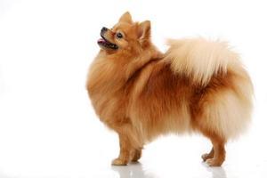 cão spitz pomerânia em branco foto