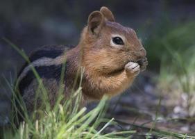 esquilo manto dourado comendo foto