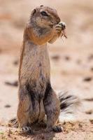 esquilo à terra comendo raízes de grama no kalahari quente foto