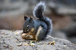 esquilo à terra de manto dourado foto