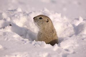 esquilo terrestre de richardson foto
