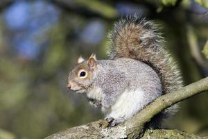 esquilo cinzento (sciurus carolinensis)