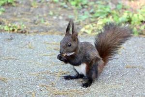 esquilo comendo uma noz