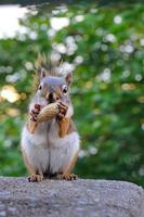 esquilo vermelho de quebec foto