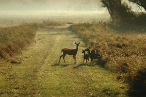 família de cervos de cauda branca
