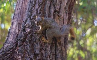 esquilo raposa em uma árvore