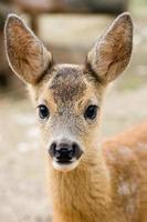 pequeno cervo manchado foto