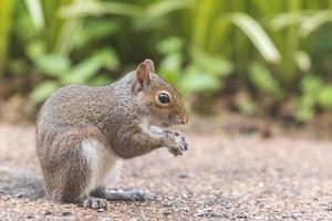 esquilo cinzento alimentação foto