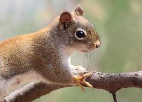 esquilo vermelho na primavera foto
