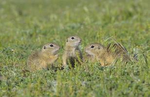 esquilo à terra, esquilo (spermophilus citellus)