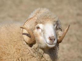 closeup cabeça de carneiro foto