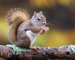 esquilo vermelho americano no outono foto