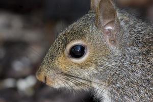 retrato de esquilo foto