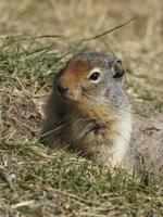 esquilo à terra colombiano espiando de sua toca - banff, canadá foto