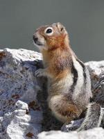 esquilo à terra de manto dourado - jasper national park, canadá foto