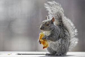 esquilo foto