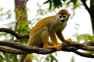 macaco-esquilo foto