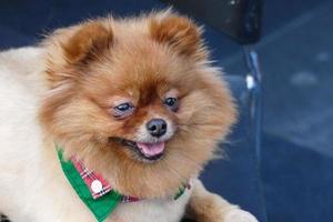 pomeranian cachorro marrom sentado na cadeira foto